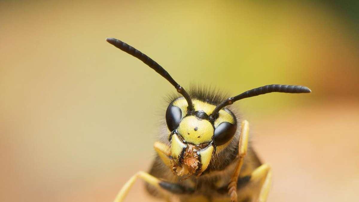 insektenexperte das hilft wirklich gegen die wespen plage region. Black Bedroom Furniture Sets. Home Design Ideas